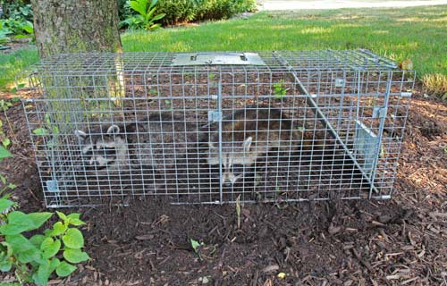 Raccoons in trap, trapping Raccoons